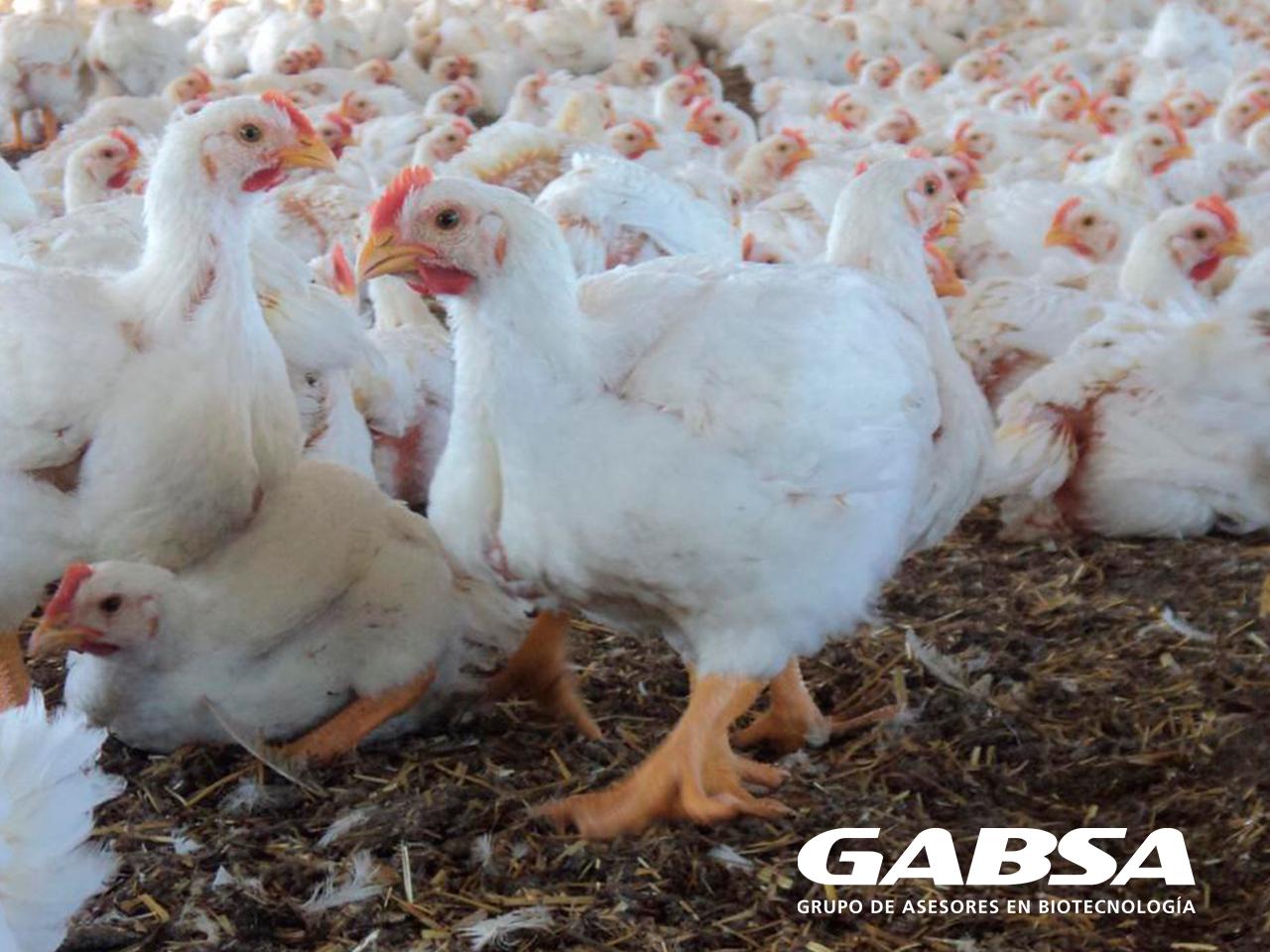 Respuesta de los pollos de engorda suplementados con Synergy