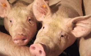 Estrés térmico en cerdos