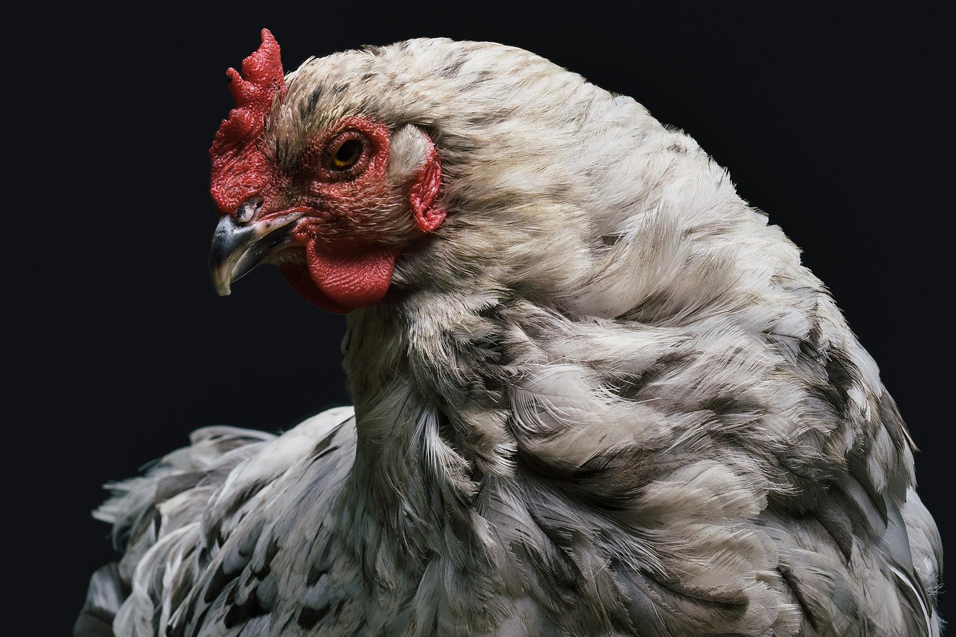 """SYNERGY® """"Mejora calidad de cascarón y producción en aves de postura."""""""