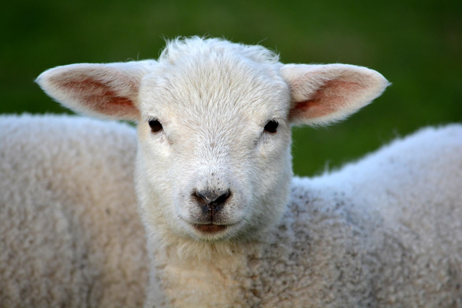 Efecto del RumenYeast® y ActiveFlora® (levadura viva) sobre la digestibilidad total de la dieta, la producción N-NH3, AGV y conteo de bacterias en corderos